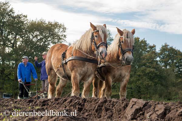 20141019-Dag-van-het-ploegpaard (1)