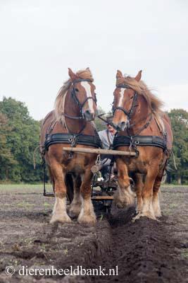 20141019-Dag-van-het-ploegpaard (11)