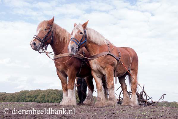 20141019-Dag-van-het-ploegpaard (12)