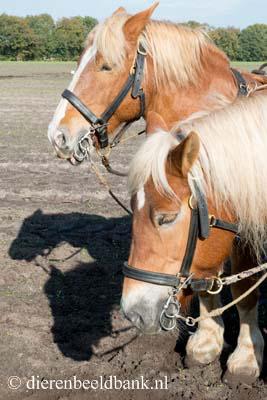 20141019-Dag-van-het-ploegpaard (14)