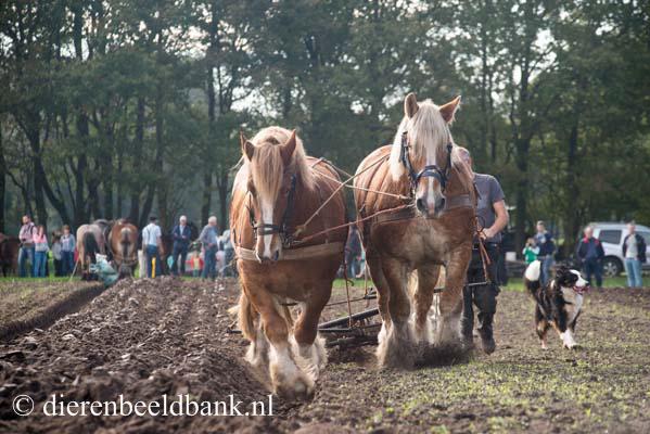 20141019-Dag-van-het-ploegpaard (2)