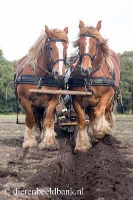 20141019-Dag-van-het-ploegpaard (4)