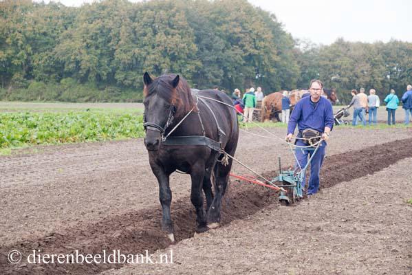 20141019-Dag-van-het-ploegpaard (5)