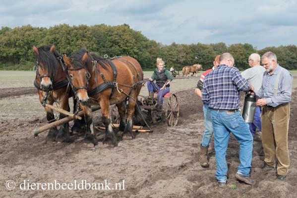 20141019-Dag-van-het-ploegpaard (6)